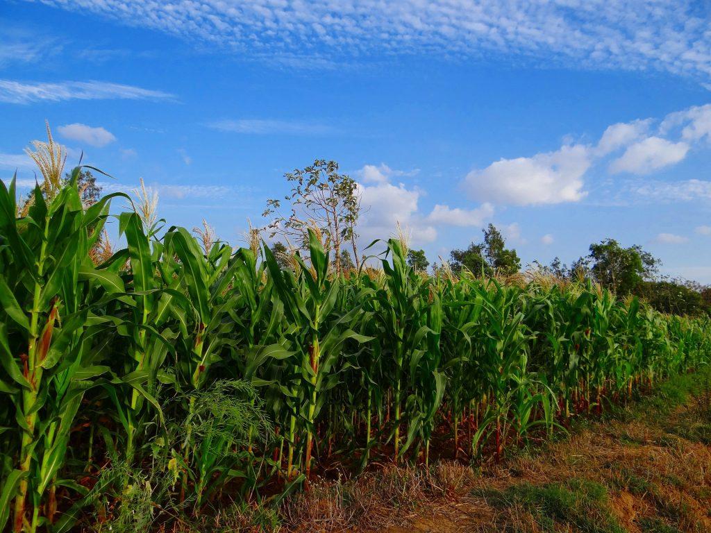 farmland corn crops